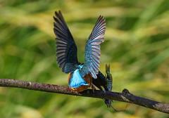 Kingfisher Female Alcedo atthis 053-1 (cwoodend..........Thanks) Tags: 2016 brandon brandonmarsh steetleyhide westmarshpool wwt warwickshirewildlifetrust kingfisher kingfisherfemale alcedoatthis
