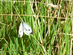x P2530907c (VERY BLURred . . Sorry!! !)  Large White..in long 'meadow' grass . ! ! . (Erniebobble::) Tags: erniebobble 2016 nature newforest wildlifegarden wildlife butterfly wings lepidotera bct colours edge education study portrait textural shape summer suspended feeding green environment ecosystem biodiversity balance harmonious peaceful gentle restful tranquil transient fleeting metamorphosis climate endangered pollination nectar secretworld painting pattern surface art above weather ephemeral biomarkers changing chrispackham garden transition