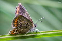 Butterfly (devke) Tags: butterfly macro closeup extensiontubes insect nikond7000 helios44m 58mmf20 manuallens m42 yongnuoyn560ii nature