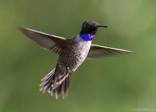 Black-chinned Hummingbird [Explored]