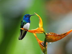 White-necked Jacobin (Oleg Chernyshov) Tags: ошейниковыйякобин whiteneckedjacobin florisugamellivora florisugamellivoramellivora колибриякобин