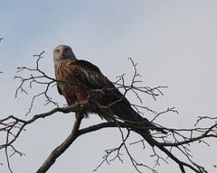 RED KITE (MILVUS MILVUS), SOUTH OXFORDSHIRE. (Gary K. Mann) Tags: red wild england kite bird canon wildlife south prey oxfordshire brith milvus of