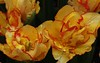 """Aquilla"" 2 (skipperlin10) Tags: nature floral yellow gardens botanical spring tulips doubletulip aquilla redtipped"