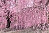 枝垂れ梅 (yuuichi akimoto) Tags: 梅 枝垂れ梅 鈴鹿の森庭園