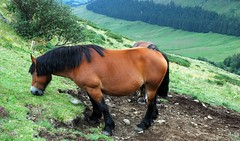Chevaux de trait  SALERS CANTAL (claude 22) Tags: france green rural caballo cheval countryside vert campagne cavalli cavallo cavalo chevaux paard paarden drafthorse salers cantal  ruralit chevauxdetrait montsducantal burons draugthorse