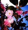 Riot of Colours - Colorsplosion - in den Farbeimer gefallen! (eagle1effi) Tags: sakura farbig hanami kirschblüte japanische farbenfroh zierkirsche prunusserrulata blütenpracht japanischeblütenkirsche blütenkirsche riotofcolours samsunggalaxys5 japanischeblütenkirschen farbfülle blütensehen