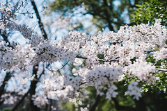 (joxar) Tags: plants flower japan 35mm blossom contax 桜 50mmf14 planar carlzeiss α7 oldlens ilce7