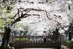 628A3245 (TetuNotable) Tags: kyoto sakura kiyamachi