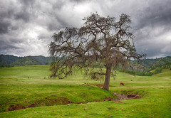 Leesville Rd Oak Tree (Morning Star Images) Tags: tree grass oak cattle stormy cloudsstormssunsetssunrises