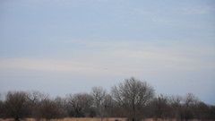 Cranes & Cows! (Eve'sNature) Tags: nature birds animals nebraska cows wildlife farms migration sandhillcranes