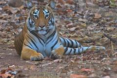 female Tiger, Tadoba National Park, India (cirdantravels (Fons Buts)) Tags: tiger pantheratigris tadoba bengaalsetijger