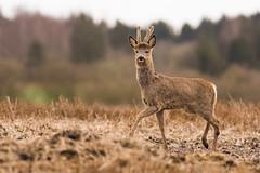 Roe Deer buck (Wouter's Wildlife Photography) Tags: nature mammal wildlife bok buck roedeer billund rådyr ree capreoluscapreolus zoogdier pattedyr