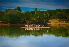 Caada de los Pjaros P1080923 (jantoniojess) Tags: bird lago sevilla andaluca seville ave flamenco flamencos pjaro caadadelospjaros lapuebladelro avesacuticas