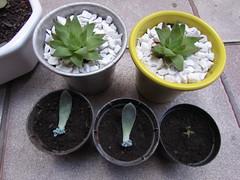 Babies Suculents (cih_coloridex) Tags: plants baby garden suculent suculents