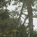 E aí está uma das fêmeas do quetzal. Alguém a vê?