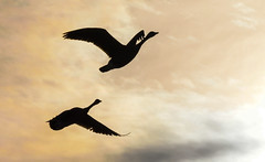 Flying into the sunset (ap0013) Tags: statepark park winter sunset rock river geese illinois buffalo state canadian il explore canadiangeese illinoisriver buffalorock