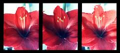 Amaryllis (pho-Tony) Tags: milan color colour slr japan pen 35mm japanese prime xpro triptych gates cdu shift slide olympus cast frame half ft kit trio tungsten analogue autos halfframe f18 agfa expired six olympuspen triple hue zuiko 18x24 tryptich 118 sgf 38mm c41 agfachrome olympuspenft fzuiko olympuspenf tetenal 18x24mm tetenalc41kit cduii f38mm sixgatesfilms agfacduii