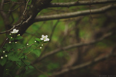Above (Tammy Schild) Tags: flowers tree green nature leaves forest canon spring woods branches limbs whiteflowers 135l