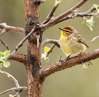 Palm Warbler (Setophaga palmarum) {Explored}