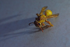 Launch And Lift (MPnormaleye) Tags: macro nature closeup lensbaby 35mm bug wasp utata magnified pest