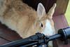 20160605-IMG_8299.jpg (ina070) Tags: animals canon6d grass pet rabbit 兔 兔子 公園 動物 寵物 植物 福德坑 自然 自然生態公園 草 草原 草地 草皮