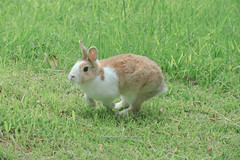 20160605-IMG_8365.jpg (ina070) Tags: animals canon6d grass pet rabbit