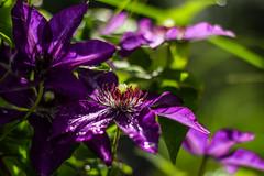 Bathing in the Purple Rain (marionrosengarten) Tags: clematis violet purple nikon park garden darmstadt rosenhöhe flower blossom light 50mm18 sun nature