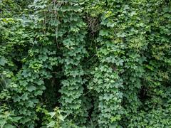 Green wall (Teelicht) Tags: laub foliage tendrils ranken fahrradtour laubbaum radtourilsede