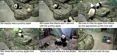 2016_07-20e1 (gkoo19681) Tags: nationalzoo sohappy stealing meixiang beibei unfortunateevents sharingiscaring yummyapple ccncby