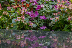 Landscaped Flowers Of Manhattan (nrhodesphotos(the_eye_of_the_moment)) Tags: dsc00075160 wwwflickrcomphotostheeyeofthemoment nrhodesphotosyahoocom marble reflections shadows plantlife nature blossoms flowers garden landscape outdoor colorful