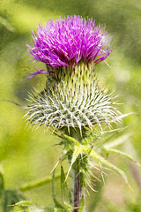BWP_9147 (b_jw40) Tags: thistle scotish scotland flower green purple