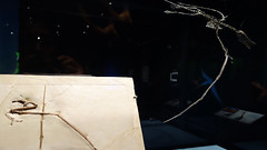 Fsil 03023 (Omar Omar) Tags: pterosaurs pterosaurios ptrosaures flugsaroj flyingdinosaurs dinosauriosvoladores flugantedinosaroj dinosauresvolants lagartosvoladores nhm naturalhistorymuseum museodehistorianatural muse museo museum losangeles losngeles losangelesca losngelescalifornia la california californie usa usofa dscrx100 sonydscrx100 rx100 cybershotrx100 fsil petrificado
