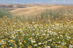 Recharging (Miss Q Pix) Tags: washington roadtrip textures wildflowers palouse easternwashington