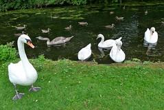 """der """"Schatz"""" und seine Familie (mama knipst!) Tags: schwan swan wasservogel bird rheinauebonn"""