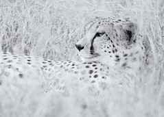 Cheetah - Lewa Wildlife Conservancy (Christopher J May) Tags: africa blackandwhite bw nature monochrome animal cat kenya wildlife safari bigcat cheetah lewawildlifeconservancy nikond800 nikonafsnikkor200500mmf56