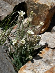 Silene sargentii, ALPINE CAMPION (openspacer) Tags: inyocounty inyonationalforest