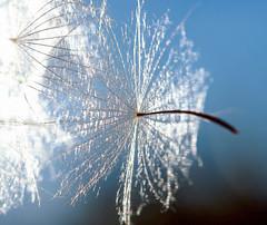 Make a Wish (Karen McQuilkin) Tags: macro nature fly pod flight seed bluesky wish makeawish goatsbeard karenmcquilkin