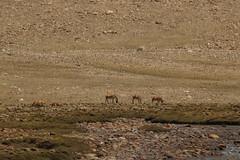 Tibetan wild ass - Kiang (siddarth.machado) Tags: equuskiang polyodon tibetanwildass sikkim wildlife india northsikkim eastern himalayas mammal