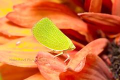 IMG_8375 (nitinpatel2) Tags: nitin patel