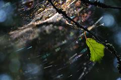 Glittering web (Flexu) Tags: spiderweb leaf sun light glittering nikon d3100