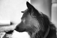 My dog...His name Lonewolf (chin_c3x) Tags: dog pet animal lonely