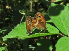 Gatekeeper (Mark Walpole) Tags: gatekeeper butterfly old moor rspb