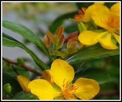 DSC00628-001 (Kun242) Tags: apricot blossom