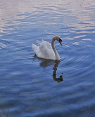 Cygne (60anhour) Tags: cygne couleurs oiseau paris france parc naturel vgtation reflet mlancolie solitude tristesse nostalgie