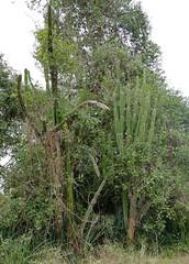 Apple Cactus (Cereus sp.) (berniedup) Tags: applecactus cereus cactus taxonomy:genus=cereus pousoalegre pantanal transpantaneira pocon