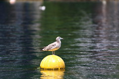 Gull (Teruhide Tomori) Tags: bird wild gull water sea seagull かもめ 海 浮き float