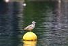 Gull (Teruhide Tomori) Tags: bird wild gull water sea seagull かもめ 海 浮き float