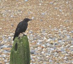 3529 Carrion Crow - Corvus corone (Andy panomaniacanonymous) Tags: 20160818 bbb beach bird carrioncrow carrioncrowcorvuscorone ccc corvuscorone crow kent littlestoneonsea shingle sss