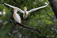 I Saw Her First (Alfred J. Lockwood Photography) Tags: alfredjlockwood nature wildlife bird egret cattleegret breedingplumage flight rookery dallas texas morning spring overcast