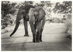 Two for the price of one (Sheldrickfalls) Tags: elephant elephants olifant phabeni phabenigate krugernationalpark kruger krugerpark southafrica mpumalanga coth5